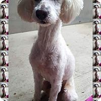 Adopt A Pet :: Chauncey - IL - Tulsa, OK