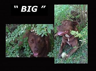 Labrador Retriever Dog for adoption in Madison, Alabama - BIG*