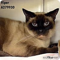 Siamese Cat for adoption in Conroe, Texas - MASON