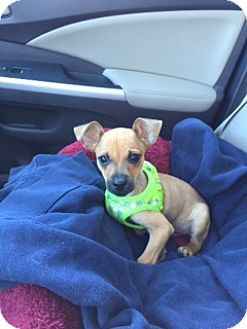 Chihuahua Mix Puppy for adoption in Richmond, Virginia - Peanut