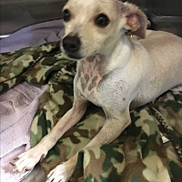 Chihuahua Mix Dog for adoption in Phoenix, Arizona - Pepsi