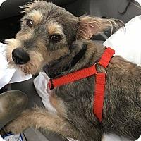 Adopt A Pet :: Gino - San Francisco, CA