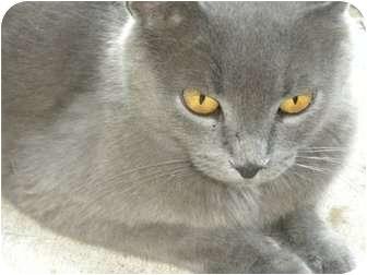 Russian Blue Cat for adoption in Baton Rouge, Louisiana - Huggy Bear