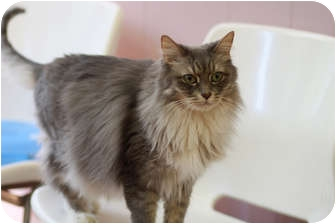 Domestic Longhair Cat for adoption in Chicago, Illinois - Ernestina