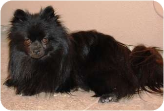 Pomeranian Dog for adoption in Gilbert, Arizona - Noir