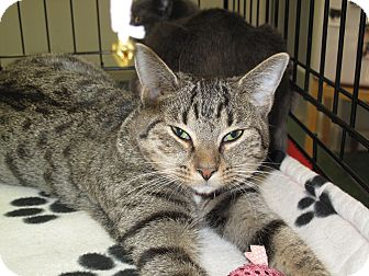 Domestic Shorthair Cat for adoption in Port Republic, Maryland - Leila