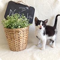 Adopt A Pet :: Nebula - Coral Springs, FL