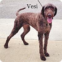 Adopt A Pet :: Vesi - Pleasant Plain, OH