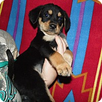 Adopt A Pet :: Bogey (cheagle) - mooresville, IN