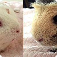 Adopt A Pet :: Marshmallow & Fluffernutter - Chicago, IL