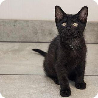 Domestic Shorthair Kitten for adoption in St. Paul, Minnesota - Tinsdale