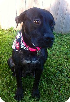 Labrador Retriever Mix Dog for adoption in Springfield, Missouri - Layla