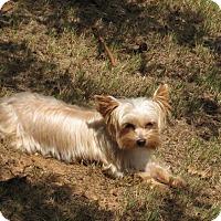Yorkie, Yorkshire Terrier Dog for adoption in Athens, Georgia - Blondie