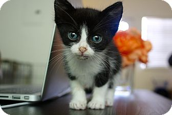 American Shorthair Kitten for adoption in Miami, Florida - Marco