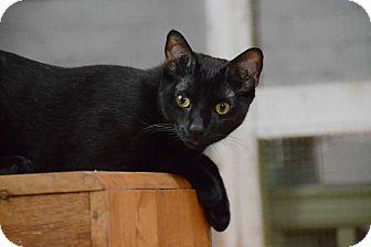 Domestic Shorthair Kitten for adoption in Brooklyn, New York - Sandro