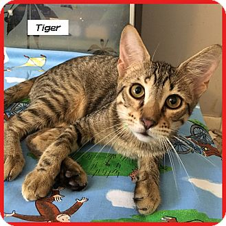 Domestic Shorthair Cat for adoption in Miami, Florida - Tiger