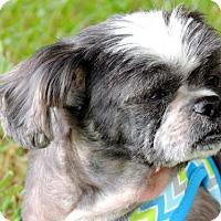 Shih Tzu Dog for adoption in Norfolk, Virginia - JOEY