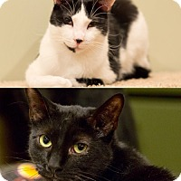 Adopt A Pet :: Zack and Ziggy Play Hard & Purr Harder - Brooklyn, NY