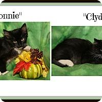 Domestic Mediumhair Kitten for adoption in Marietta, Ohio - Bonnie & Clyde (Spay/Neuter)