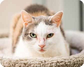 Domestic Shorthair Cat for adoption in Palm Springs, California - Hilton