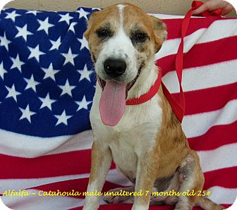 Catahoula Leopard Dog Mix Puppy for adoption in Jacksonville, Texas - Alfalfa