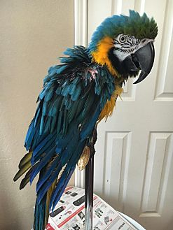 Macaw for adoption in Burleson, Texas - Rowdy