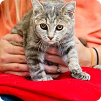 Domestic Shorthair Cat for adoption in Windsor, Virginia - East