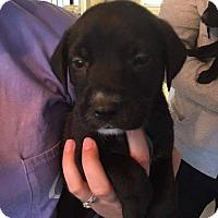 Adopt A Pet :: Zinfandel - Charlotte, NC