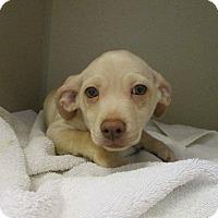 Adopt A Pet :: Rolo - Charlotte, NC