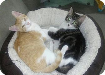 Domestic Shorthair Cat for adoption in Shakopee, Minnesota - Mimi C1409 & Jules C1408 (Bonded Pair)