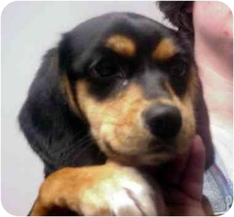 Beagle/Feist Mix Dog for adoption in Alexandria, Virginia - Connie