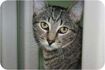 Domestic Shorthair Cat for adoption in Canoga Park, California - Monte