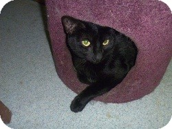 Domestic Shorthair Cat for adoption in Hamburg, New York - Channell