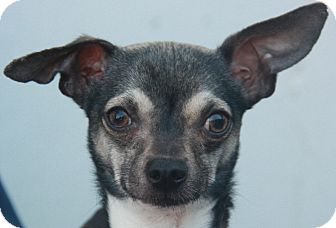 Chihuahua/Italian Greyhound Mix Dog for adoption in Atlanta, Georgia - Fenway