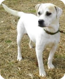 Terrier (Unknown Type, Small)/Labrador Retriever Mix Dog for adoption in Lincolnton, North Carolina - Baby Girl