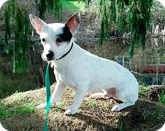 Chihuahua/Jack Russell Terrier Mix Dog for adoption in Ferndale, Washington - Popeye