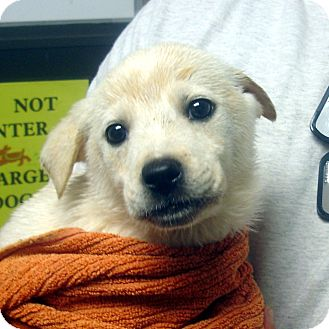 Labrador Retriever Mix Puppy for adoption in baltimore, Maryland - Vance