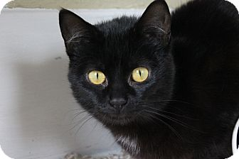 Bombay Cat for adoption in Grand Rapids, Michigan - Misha