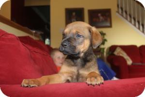 Rottweiler/Labrador Retriever Mix Puppy for adoption in Marlton, New Jersey - Spencer