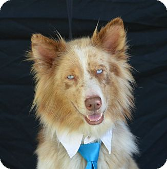 Australian Shepherd/Husky Mix Dog for adoption in Plano, Texas - Sinatra