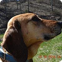Adopt A Pet :: Acer - Bakersville, NC