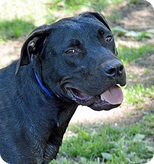 Labrador Retriever/American Staffordshire Terrier Mix Dog for adoption in Mountain Center, California - Onyx