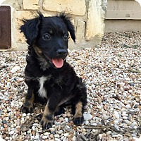 Adopt A Pet :: Athos - Austin, TX