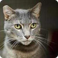 Domestic Mediumhair Cat for adoption in New Orleans, Louisiana - Ramses