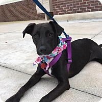 Adopt A Pet :: Becky - hollywood, FL
