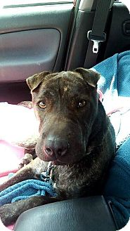 Shar Pei Mix Dog for adoption in Mira Loma, California - Georgy Girl in Florida