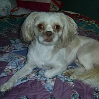 Shih Tzu Dog for adoption in DeRidder, Louisiana - Hotshot