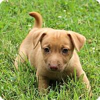 Adopt A Pet :: Dolly - Glastonbury, CT