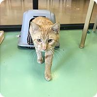 Adopt A Pet :: Lex - Gadsden, AL