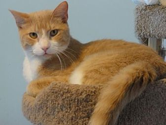 Domestic Shorthair Cat for adoption in Penndel, Pennsylvania - Todd